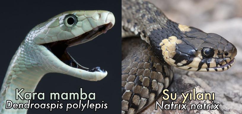Ölümcül kara mamba ve tamamen zehirsiz olan su yılanı karşılaştırması.