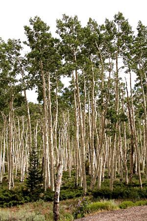 """Görsel 4. Pando'dan bir kesit. Tek bir klon Pando'da bu rametlerden (yani """"ağaçlardan"""") yaklaşık 47.000 tane vardır."""