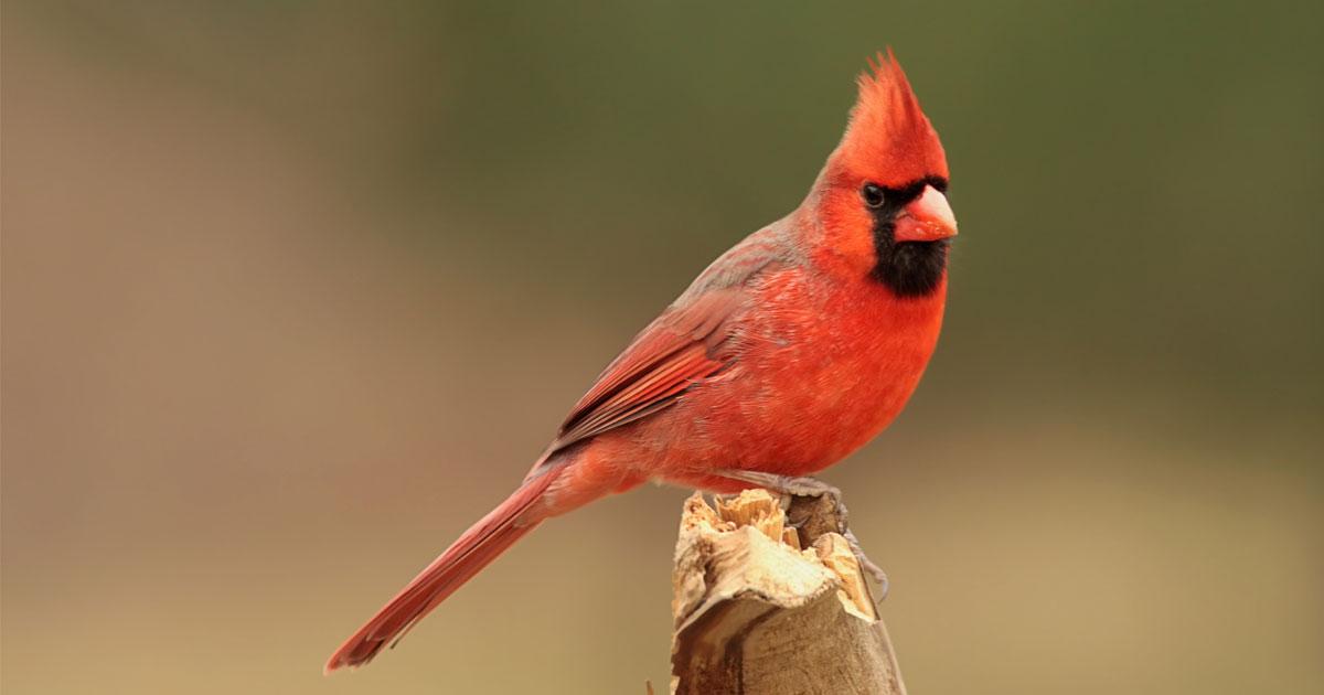 Kuzey Kardinal kuşunun kırmızı rengi karotenoidler sayesinde oluşur.