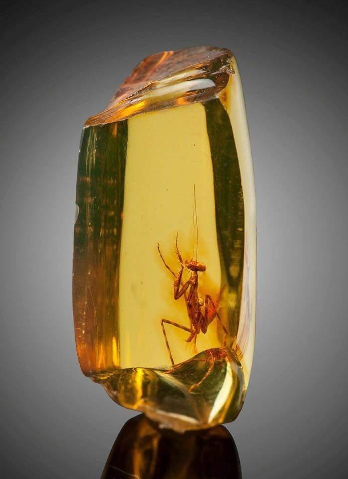 12 milyon yıllık mantis
