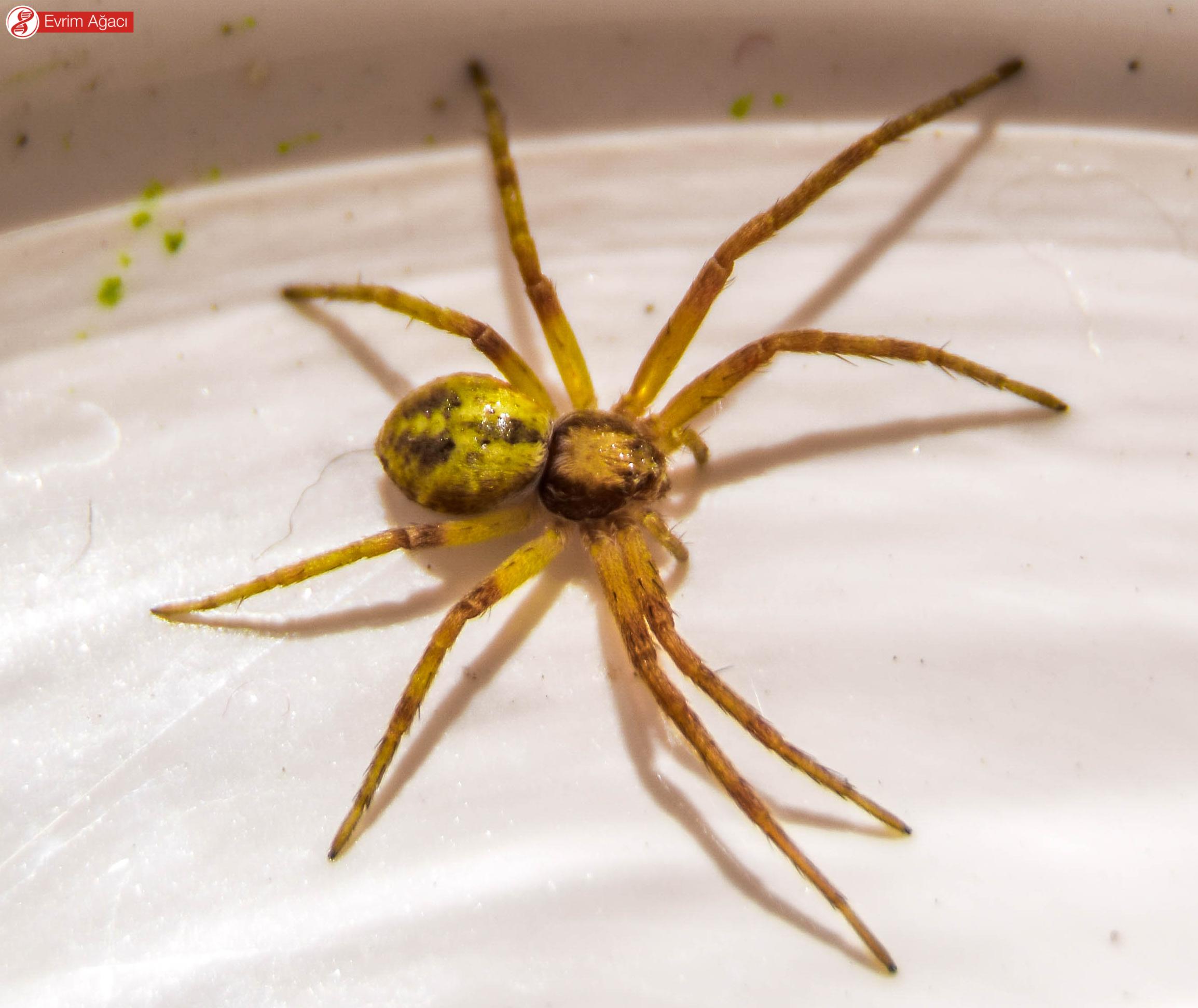 Makro tekniği nedeniyle büyük gözükse de, tırnak boyutunda oldukça ufak örümceklerdir.