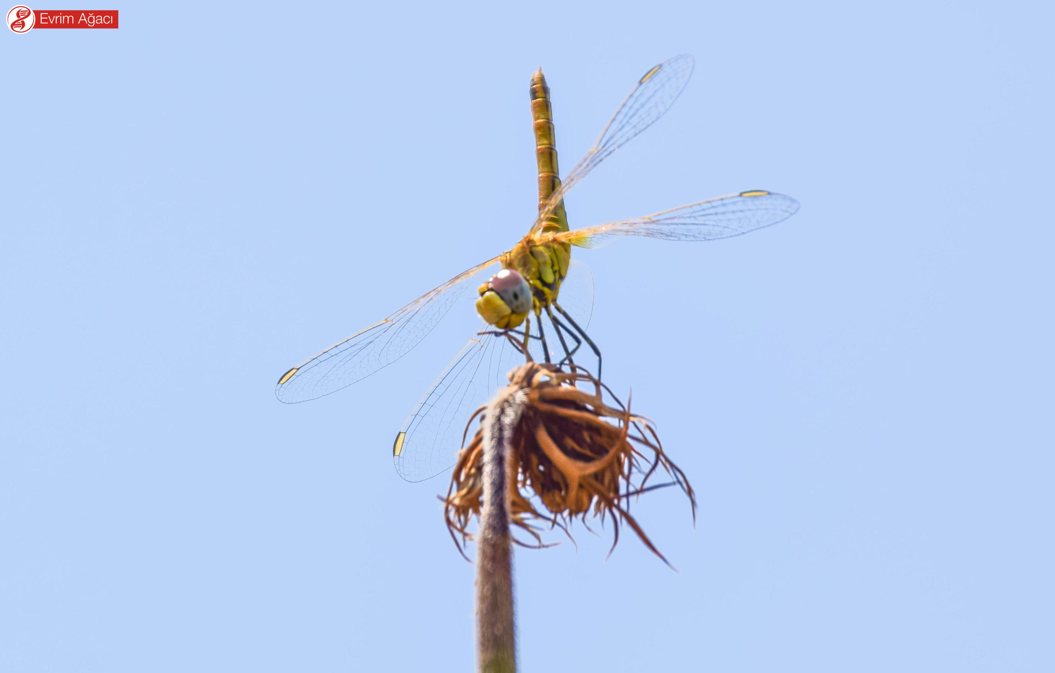 Parlayan kanat köşeleri pterostigma bölgesidir.