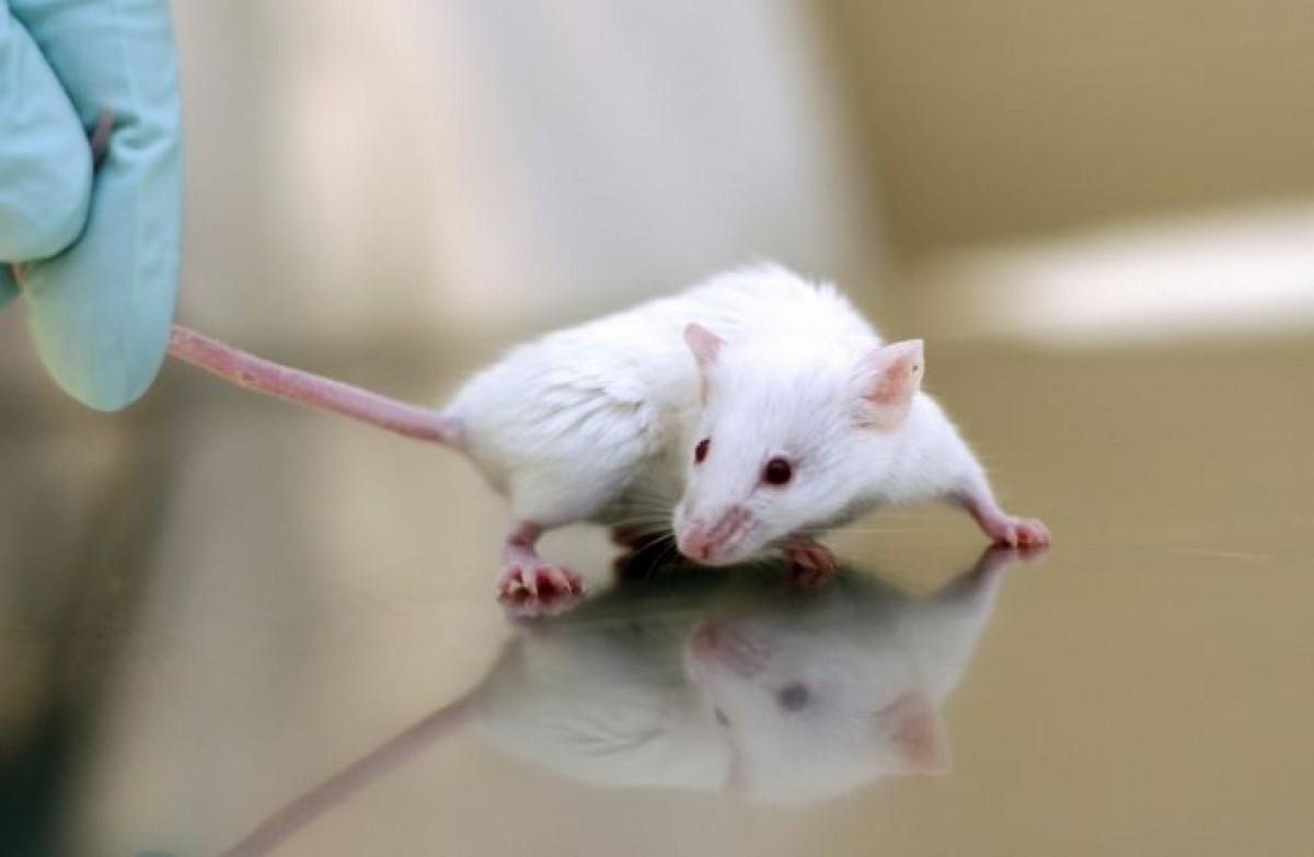 Deneylerde neden fare kullanılır