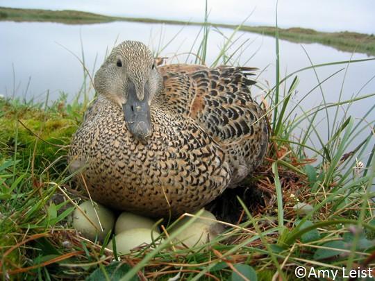 Dişi Kral kuşu, yuva rengiyle aynı renge sahip tüy renkleriyle kamufle haldedir. Böylelikle etraftaki olası avcılardan korunmaktadır.