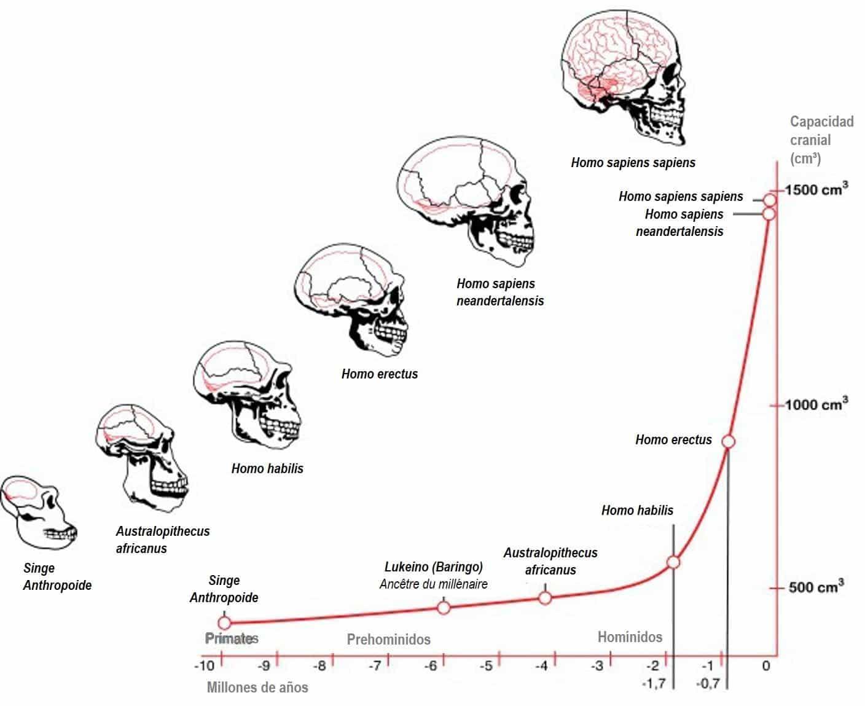 Beynimizdeki evrimin hız kazanmasıyla et ağırlıklı beslenmeye geçişimiz, beklendiği gibi üst üste çakışmaktadır. Et temelli beslenmeye giderek adapte olan Homo habilis ile birlikte beynimizin evrimi inanılmaz bir hız kazanmıştır.