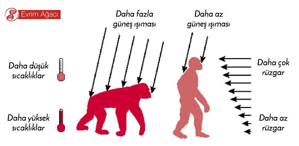 Uzun mesafelerde göç eden türümüz için vücudu serin tutmak çok önemlidir. İki ayak üzerinde yürüyen bir hayvana tepedeki Güneş çok daha az ısı aktarabilirken, esen rüzgar çok daha kolay serinletir. Bu, ısı düzenlemesi açısından iki ayaklılığı tetiklemiştir. İki ayak üzerinde kalkmak ise, az önce izah edildiği gibi daha büyük beyinleri gerektirmiştir.