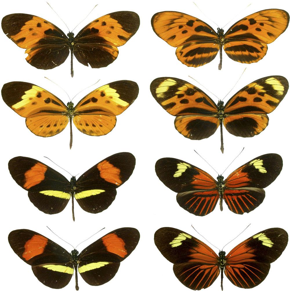 Görsel 4. Bazı Heliconius kelebek türleri kanatlarında benzer desenler taşır. Benzerlik her zaman tesadüfi değildir: Türler arasında alınıp verilen genler de bunda önemli bir rol oynar.