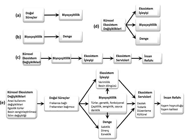 Görsel 2. Kapsamlı bir kavramsal çerçeve geliştirmek için dört ekolojik alandan kavramların sentezi (oklar nedensel ilişkileri temsil etmektedir): (A) Biyoçeşitliliğin devamlılığı araştırmaları, biyoçeşitlilikte doğal süreçlerin etkilerine odaklanmıştır. (B) Biyoçeşitlilik-denge araştırmaları biyoçeşitliliğin denge üzerindeki etkilerine odaklanmıştır. (C) Biyoçeşitlilik-ekosistem işleyişi araştırmaları biyoçeşitliliğin ekosistem işleyişi üzerindeki etkilerine ve bu ilişki bazında, küresel ekosistem değişikliklerinin, insanoğlunun refahını nasıl etkilediğine odaklanmıştır (Naeem et al. 2009). (D) Küresel değişim ekolojisi küresel ekosistem değişikliklerinin biyoçeşitlilik, ekosistem işleyişi ve dengesi üzerindeki etkilerine odaklanmıştır. (E) Daha önce açıklanan ilişkileri birleştiren kapsamlı bir çerçeve ekosistemleri anlama, koruma ve iyileştirme yeteneğimizi artırabilir.