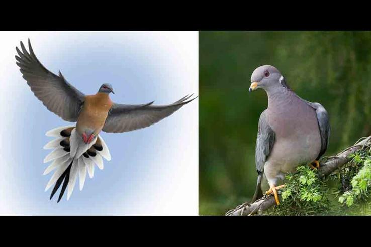 Yolcu Güvercin (Passenger Pigeon)