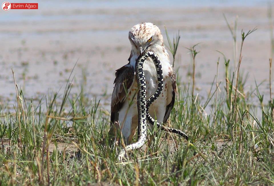 Konya'dan, yarı sucul yılan (Natrix natrix) ile beslenirken.