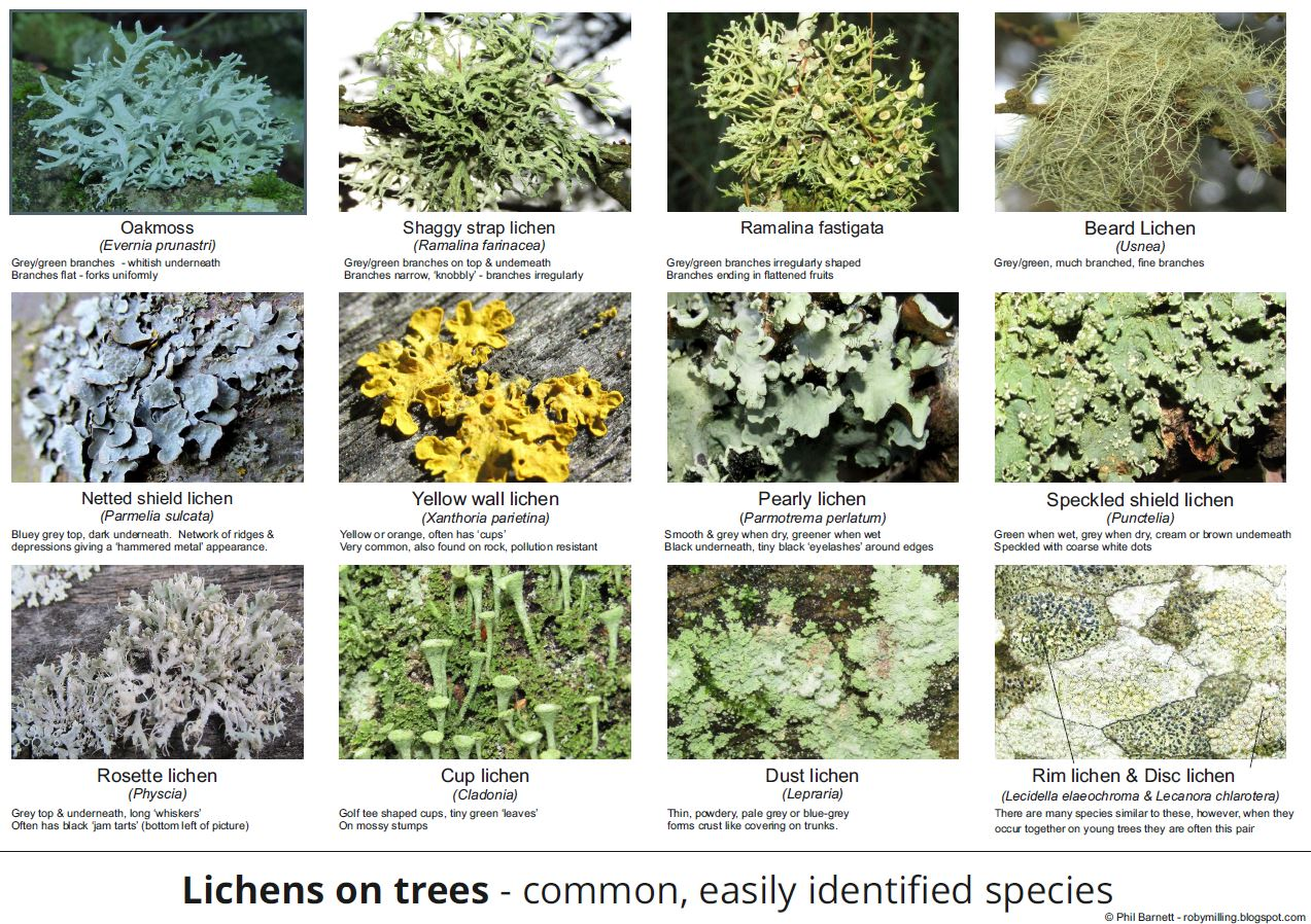 Common Lichens on Trees