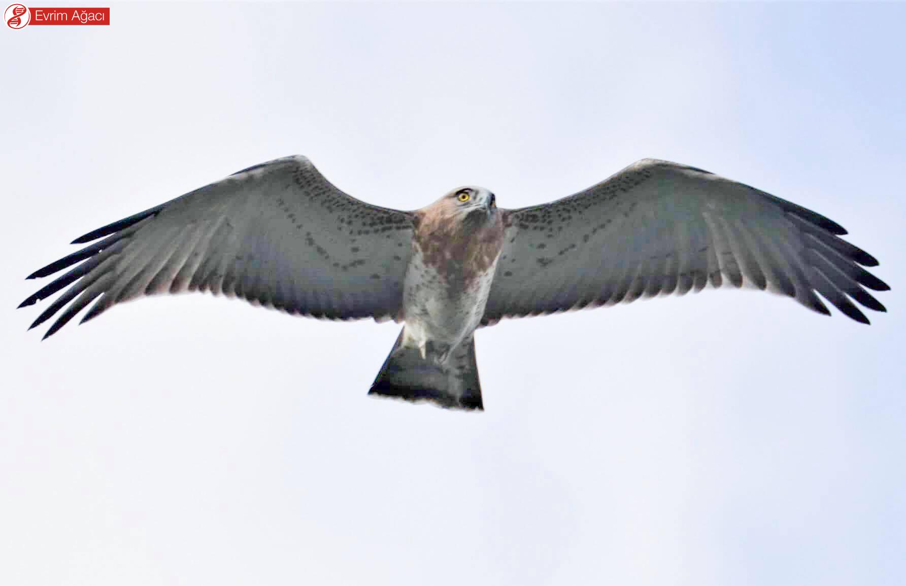 Önden bakıldığında köşeli kanat kenarları dikkat çeker. Desenlerine bakılırsa oldukça genç duruyor.
