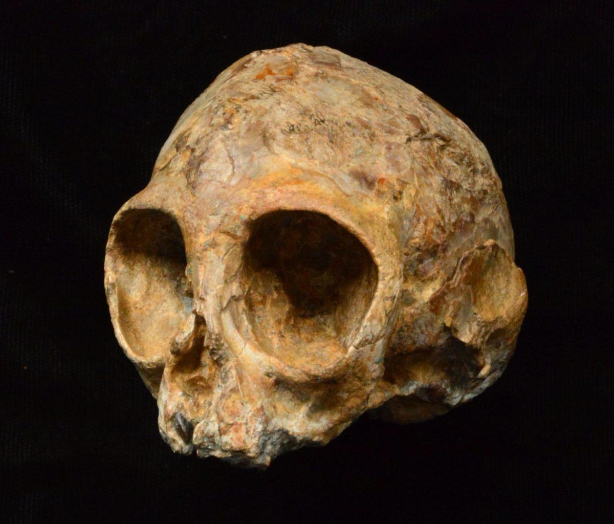 Alesi kafatsı yeni önerilen Nyanzapithecus alesi türüne ait.