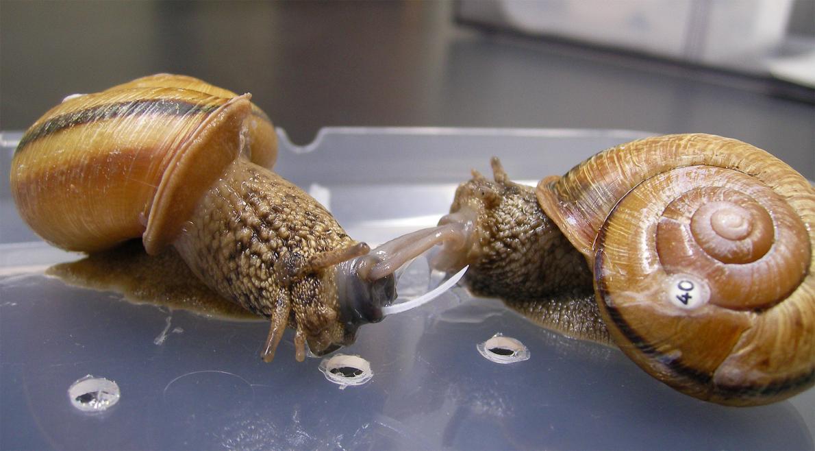 Kara salyangozu türü olan bu çiftten soldaki salyangoz sağdakine aşk okunu saplıyor.