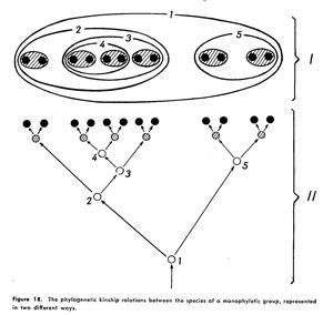 Hennig'in figürü: ''İki farklı şekilde temsil edilen monofil grubun türleri arasındaki filogenetik akrabalık ilişkisi.
