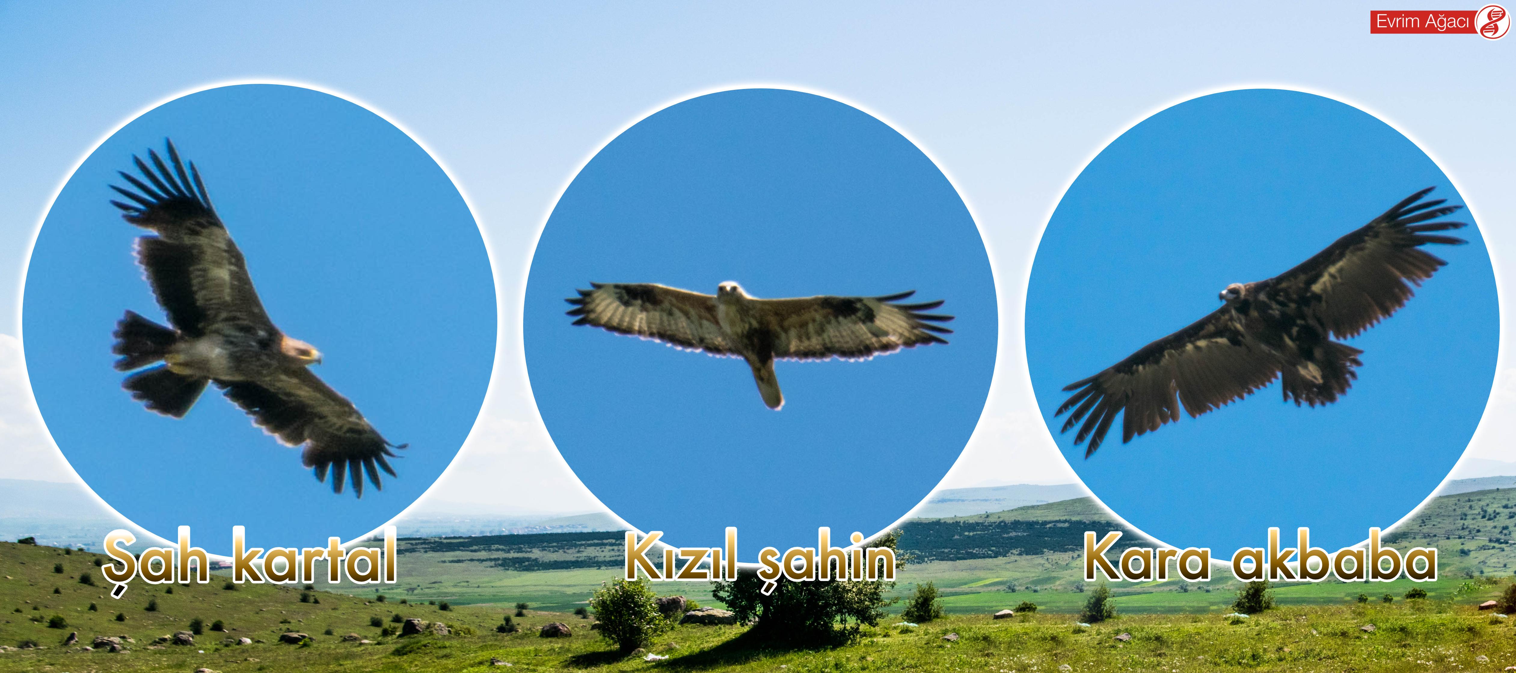 Aynı gün gözlemlediğimiz üç büyük yırtıcı kuş (raptor) türü.
