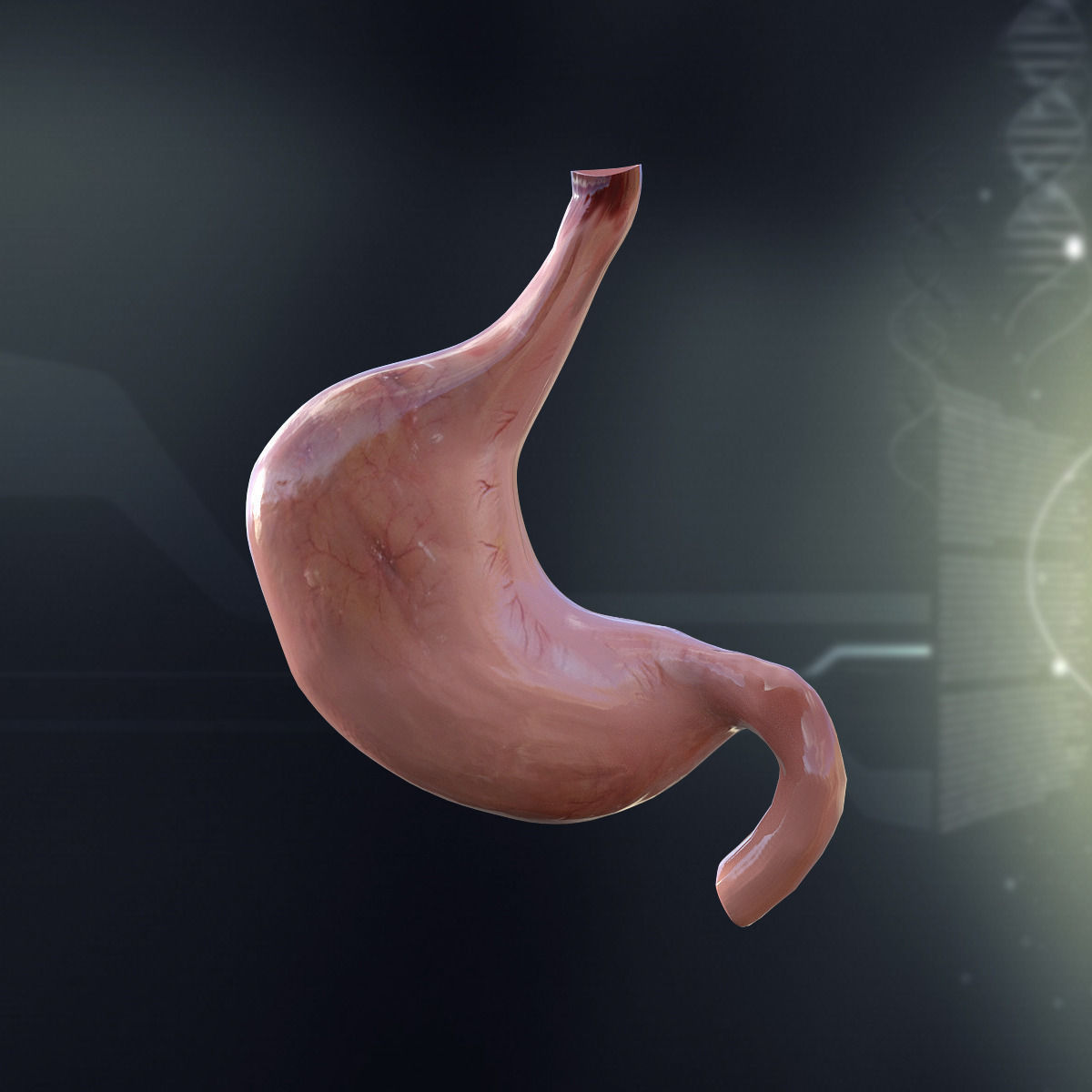 3D model Human Stomach Anatomy