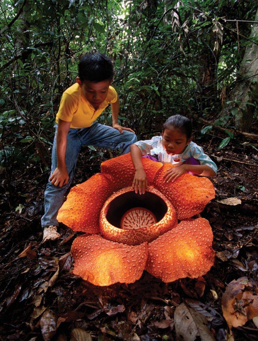 Dünyanın en büyük çiçeği Rafflesia