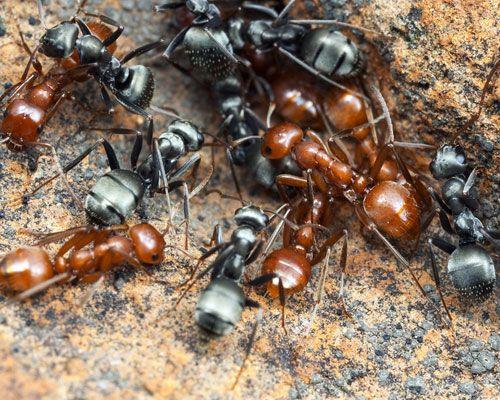 Görsel 1. Zorunlu köle yapıcı Polyergus breviceps (kırmızı karıncalar), sürülerindeki Formica argentea'dan (siyah karıncalar) kolayca ayırt edilebiliyor.