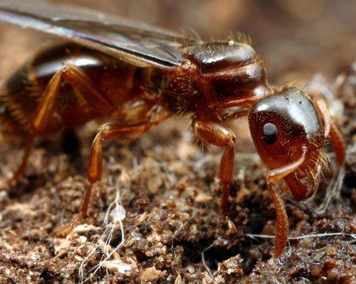 Görsel 2. Bu geçici sosyal parazit (Lasius claviger) çiftleşme uçuşunun ardından konakçı koloniye sızıp konakçı kraliçeyi öldürerek yeni bir koloni oluşturuyor.