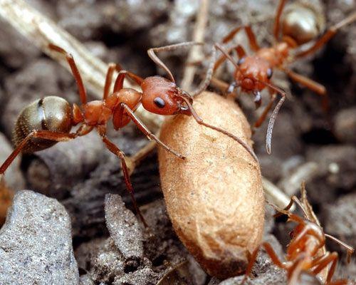 Görsel 3. Köle yapıcı Formica subintegra türünün işçileri, köle baskınında ele geçirilen bir pupa ile yuvalarına dönüyor.