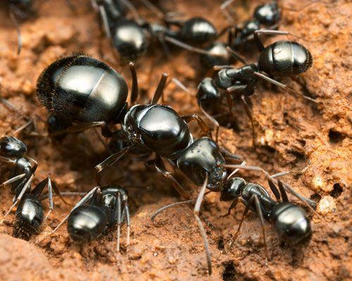 Görsel 5. Parazitler ve konakçıları sıklıkla yakın akrabadır. Örneğin bu karıncalar (Formica fusca) yaygın olarak aynı cins ya da yakın akraba cinsler tarafından köleleştirilir.