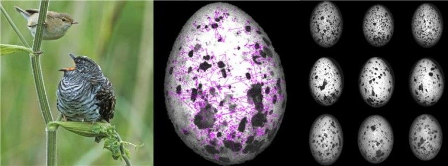 Guguk kuşu ve ev sahibi kuşlar (fotoğrafta görülen çok daha büyük bir guguk kuşu yavrusunu beslerken görülen küçük saz ardıcı) birlikte evrimin bir klasik örneğidir. Guguk kuşlarında, ev sahibi kuşların yabancı yumurtaları kabul etmek için kandırabilmek yönünde yumurta taklitçiliğini evrimleşti. Yeni bir bilgisayar programı ve desen tanıma aracı olan Doğal Desen Eşleştirici'yi (NATUREPATTERNMATCH) kullanan araştırmacılar, ev sahibi kuşların yumurtalarında bireysel bir desen imzası evrimleştiğini, böylece kendi yumurtalarını guguk kuşu hilelerinden ayırabildiğini gösterdi. Doğal Desen Eşleştirici resimde magenta vektörler olarak temsil edilen görsel nitelikleri seçiyor. Her biri (farklı sıralarda gösterilen) üç farklı Büyük saz ardıcına ait olan üç yumurta gösteriliyor.
