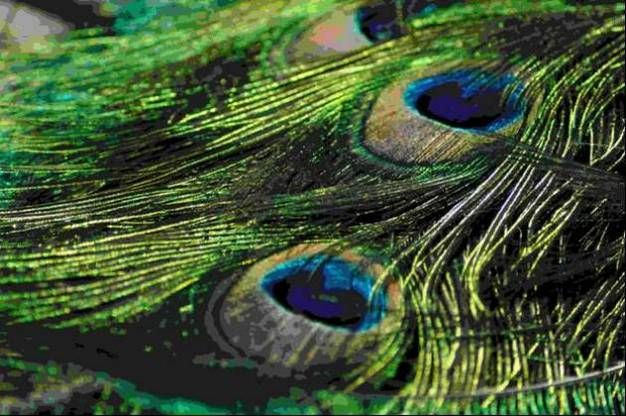 Görsel 3. Tavus kuşunun kuyruk tüylerinde bulunan göz biçimindeki benekler. Ayrıntılı süsler genellikle cinsiyet içi seçilim nedeniyle evrimleşir ve eş seçiminde kullanılır. Fotoğraf Michael D. Breed'e aittir.