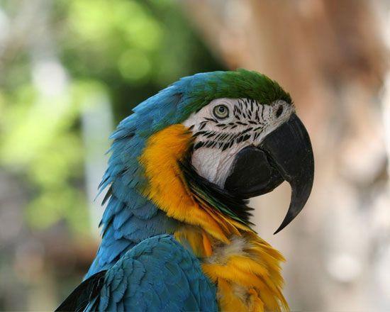 Görsel 1: Renkli görüş için nispeten daha dar dalga boyuna duyarlı olan reseptörler gerekir.  Görseldeki Makaw (Ara) papağanı gibi renkleri sinyal olarak kullanan hayvanlar, iyi gelişmiş görme yetisine sahiptirler.   2010 Nature Education Courtesy of Jeff Mitton. Tüm hakları saklıdır.
