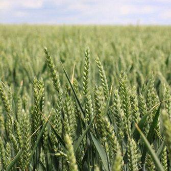Görsel 1: Semelpar bitkiler. Bütün tahıl bitkilerinde olduğu gibi buğday da semelpar bir türdür. Yıllık bitkiler bir yıl çimlenme sırasında ilk üremeden sonra ölürler. (Simon Howell'in izniyle: freedigitalphotos.net)