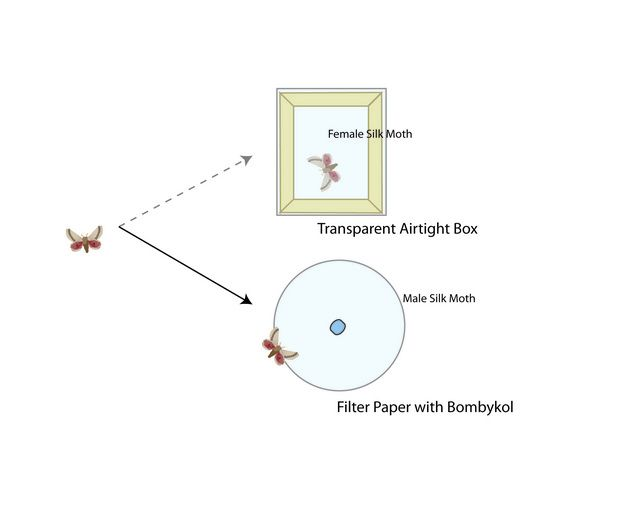 Görsel 3. İstisnasız biçimde erkek ipekböceklerinin tamamı şeffaf hava geçirmez kutudaki dişinin görüntüsüne (görsel sinyal) gitmektense dişiler tarafından üretilen feromonlara (kimyasal sinyal) yöneldi.