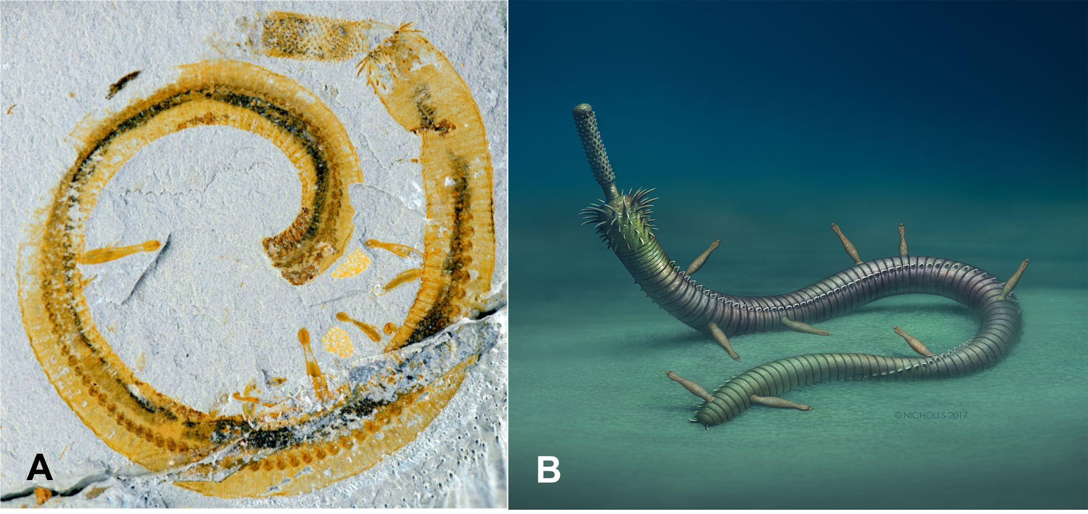A. Peiyun Cong tarafından toplanan YKLP 13226 adlı en iyi fosil örneği. B. Sanatçı Robert Nicholls'ün yapmış olduğu Inquicus fellatus'un C. jinningensis üzerine olan istila rekonstrüksiyonu.
