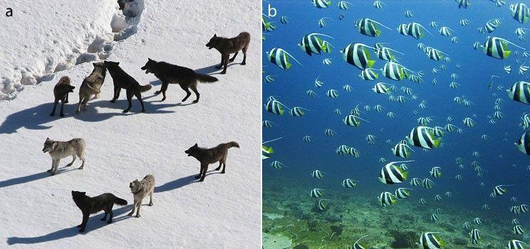 Figür 1: Bireysel üyelerin hayatta kalma ve üreme şansını artırmak için kurulmuş sosyal gruplar: kurt sürüsü (a) ve balık sürüsü (b)
