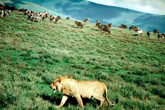 Figür 2: Gruplar halinde gezen antiloplar, avcılara karşı tek başına gezen antiloplardan daha korunaklıdır.