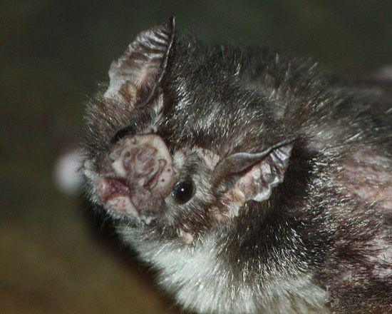Figür 3: Bir vampir yarasa: altrüistik yemek paylaşımı teorilerini test etmek için mükemmel bir <span class=