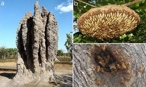 Figür 4: Kanatlı karıncalar (a), yaban arıları (b) ve arıları (c) kapsayan sosyal böcekler oldukça iyi korunan ve kollanan yuvalara sahiptirler.