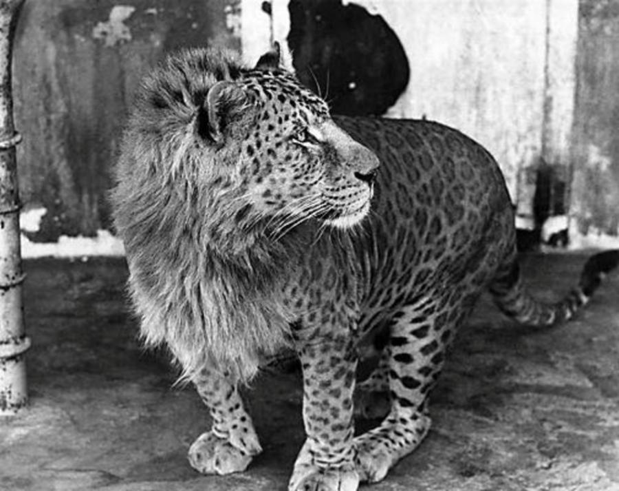 Leopar ve Aslan Melezi Olan