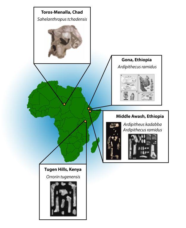 Görsel 1. Harita erken homininlerin yaşadıkları bölgeleri ve bazı örneklerin keşfediliği yerleri gösteriyor.  2013 Nature Education Örnek görselleri Brunet et al. 2002 (Sahelanthropus), Semaw et al. 2005 (Gona Ardipithecus ramidus), Haile-Selassie 2001 (Ardipithecus kadabba), White et al. 2009 (Ardipithecus ramidus), Senut et al. 2001 (Orrorin) çalışmalarından alınmıştır.