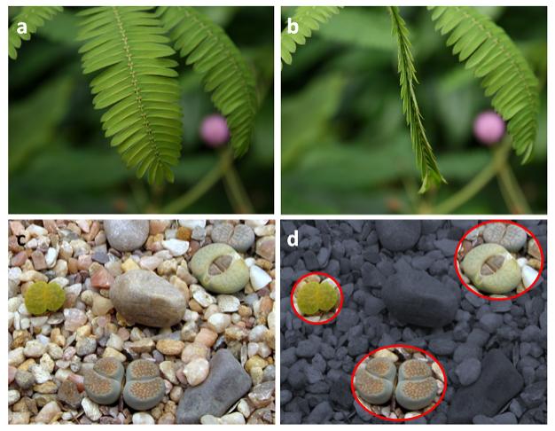 Görsel 2. Kripsis  (a) Küstümotu (Mimosa pudica), dokunulduğunda yapraklarını kapatarak otçulluğu sınırlar, (b) böylece ölü, yapraklarını dökmüş bir bitkiyi taklit eder. (c, d) Taş otu çevresindekilere karışarak otçullardan korunur.  Fotoğraflar: (a, b) Sten Porse, (c, d), Dun Holm Wikimedia Commons