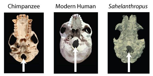 Şempanze, modern insan ve Sahelanthropus'ta foramen magnum konumunun (beyaz okla gösterilmiştir) kıyaslaması. Görüntü kafatasının altından alınmıştır. Görüldüğü üzere, şempanzenin foramen magnumu kafatasının arkasında bulunuyorken, modern insanda önüne doğru konumlanmıştır. Sahelanthropus'un foramen magnumu ise şempanzeninkine nazaran daha önde ve modern insana çok yakın konumdadır. Brunet ve ekibi (2002, 2005) tarafından bu yapı göz önüne alınarak Sahelanthropus'un kafasını modern insana benzer şekilde taşıdığı öne sürüldü ve bu yüzden iki ayak üzerine kalkabildikleri tahmin edildi.