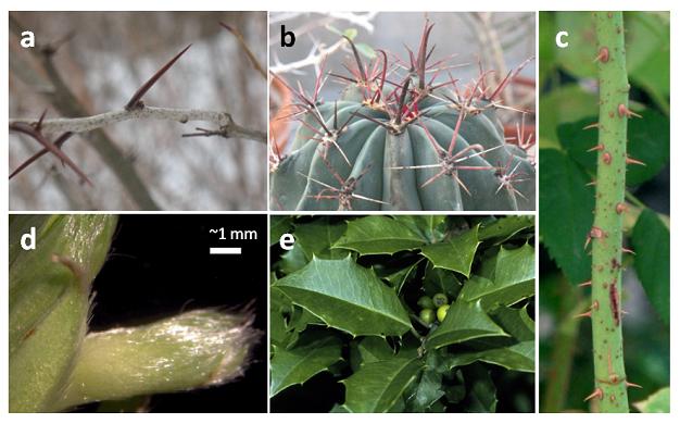 Görsel 3. Yapısal savunmalar Yapısal savunma örnekleri: (a-c) dikenli yapılar: (a) gladiçyadaki (Gleditsia triacanthos) gibi evrimsel olarak modifikasyona uğramış gövde veya dikenler, (b) diğer üyeleri yapraksız olan bir kaktüs ailesinin (Cactaceae) üyelerinden Kaliforniya fıçı kaktüsündeki (Ferocactus cylindraceus) gibi dikene dönüşmüş yapraklar ve (c) güldeki (Rosa floribunda) gibi epidermisin uzantısı olan ufak dikenler; (d) çilek (Fragaria virginiana) tomurcuğu üzerindeki trikomlar ve (e) Amerikan çobanpüskülündeki (Ilex opaca) sert yapraklar.