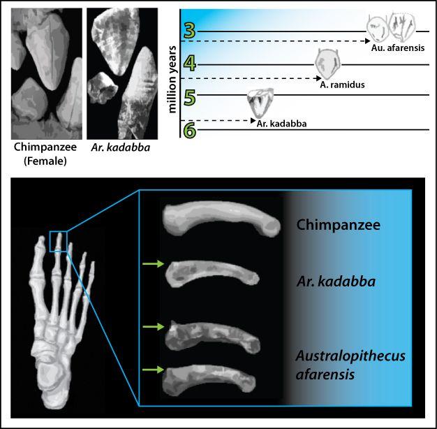 """Üstteki görüntü: Ar. kadabba'ya ait ilkel üst köpek dişi görüntüleri onun soy hattında Ar. Ramidus'tan farklı bir tür olarak gösterilmesine neden olmuştur. Üst sol görüntü: Ar. kadabba'nın üst köpek ve alt küçük azı dişinin bir dişi şempanzenin dişleri ile kıyaslaması. Büyük ve üç köşeli üst köpek dişleri görülebiliyor. Üst sağ görüntü: Ar. kadabba'nın üst köpek dişi ile Ar. ramidus ve Au. afarensis'in köpek dişlerinin kıyaslaması. Ar. kadabba'nın sahip olduğu üç köşeli diş yapısının Au. afarensis'te kesici dişe benzer şekilde değiştiği görülebiliyor. Alt görüntü: Ar. kadabba'nın ayak parmak yapısına ait olan kemiklerin şempanze ve Au. afarensis'in kemikleri ile kıyaslaması. Ar. kadabba ve Au. afarensis'in sahip olduğu """"dorsal canting"""" insansıdakilere benzemediği halde modern insanın sahip olduğu dorsal canting'e benziyor."""
