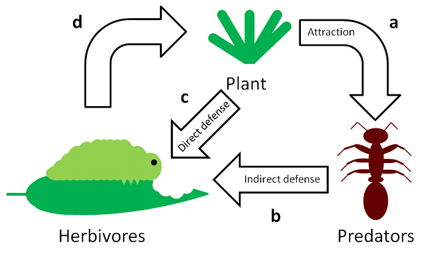 Görsel 5. Dolaylı savunmalar  Dolaylı savunmaların işleyiş yöntemi şöyledir: (a) Bitkiler besin sağlama, domatia (yuvalanma) veya av varlığını kimyasal sinyallerle bildirme şeklindeki teşviklerle karınca, yaban arısı ve kene gibi avcıları (üçüncü trofik düzey) çeker. (b) Avcılar, yerleştikten sonra, bitkiye (birinci trofik düzey) zarar verebilecek otçullara (ikinci trofik düzey) saldırır ve/veya onları uzaklaştırır. (c) Buna kıyasla, doğrudan savunmalar otçulları kötü yönde etkileyecek bir aracıya ihtiyaç duymaz. (d) Otçulların beslenmesindeki azalma, bitkinin daha az hasarlanmasıyla sonuçlanır.   2012 Nature Education
