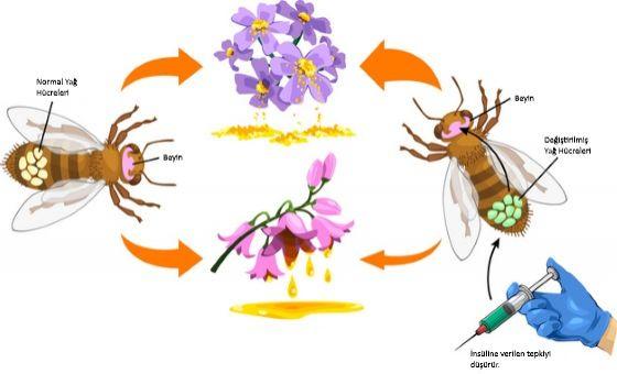 Görsel 3. Bal arılarının karın bölgelerindeki yağ hücrelerinde insülin tanıma işlevini kısıtlayan araştırmacılar bu hücrelerin besin seçme davranışındaki payını ortaya koydular. İnsülin tanımada merkezî önemi olan bir gen susturulduğunda (Değiştirilmiş Yağ Hücreleri) arılar, şekerce zengin nektardan proteince zengin polene yöneldiler. Kontrol grubu (solda) eşdeğer teknik ve biyokimyasal muameleye maruz bırakıldılar ama normal yağ hücreleri vardı.