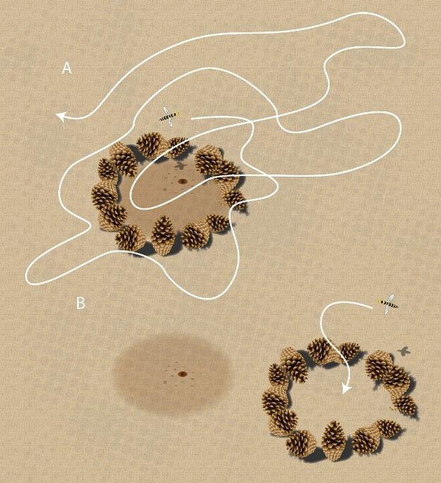 Görsel 3b. Yön bulma. Tinbergen'in deneyinde (1951) yuvalarının etrafındaki işaretler hareket ettirildikten sonra sarıca arılar, yuva girişini bulamamışlardır.