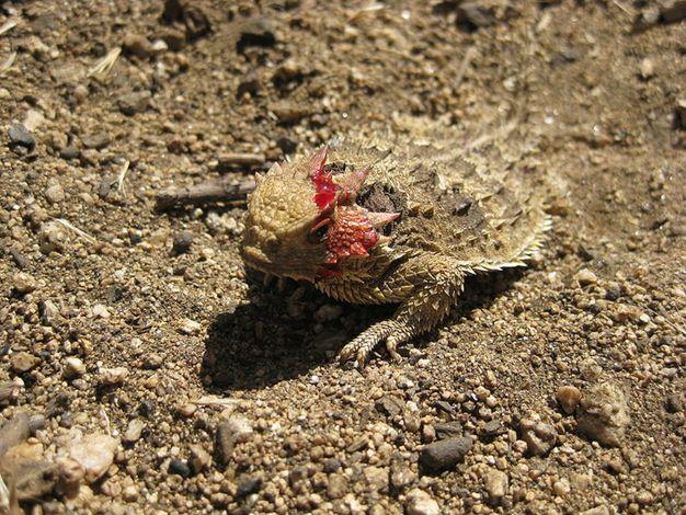 Görsel 1: Boynuzlu kertenkele (Phrynosoma coronatum), köpekgillerden olan avcıları kendisinden uzak tutmak için gözlerinden kan fışkırtır. Görsel: Zylorian