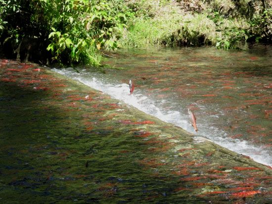 Görsel 4. Göç eden kızıl somon balıkları (Oncorhynchus nerka) - Meadow Creek, British Columbia, Kanada  2010 Nature Education Fotoğraf: Margaret A. Warren. Tüm hakları saklıdır.