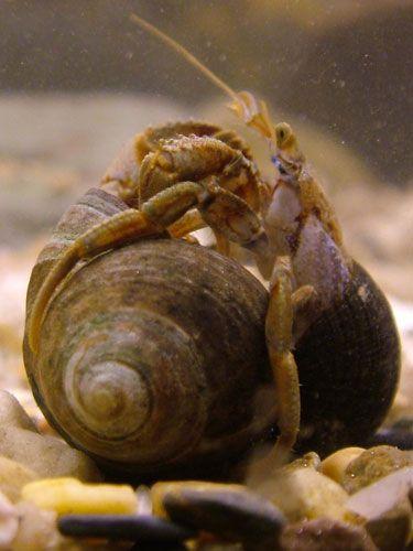 """İki keşiş yengeci, Pagurus bernhardus, boş deniz böceği kabukları için ''kabuk mücadelesi'' sürdürüyorlar. Sağdaki yengeç ''saldıran'' ve kabuklarını soldaki ''savunan'' yengecinkine vurmak için kullanıyor. Bu sırada """"savunan"""" kabukları içerisinde kalıyor ve onu kabuğundan çıkarmaya yönelik dışarıdan gelen saldırılara direnmeye çalışıyor (S. Mowles izniyle)."""