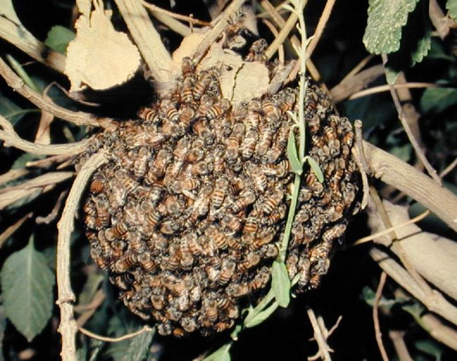 Görsel 1. Afrika bal arısı (Apis mellifera) oğulu.  2010 Nature Education Fotoğraf: R. M. Plowes