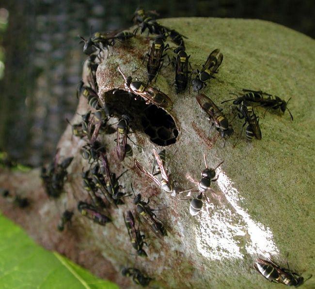 Polistes yaban arıları kağıttan yapılmış yuvalarını koruyorlar. Corcovado National Park, Costa Rica.